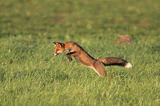 goupil à la chasse