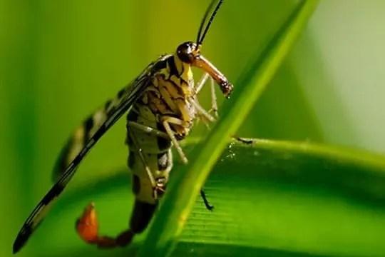 mouche scorpion