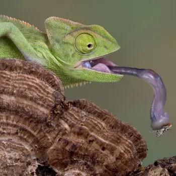 le caméléon est capable de projeter et rétracter sa langue sur une distance deux
