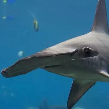 parmi les huit espèces de requins marteaux, c'est le grand requin-marteau qui