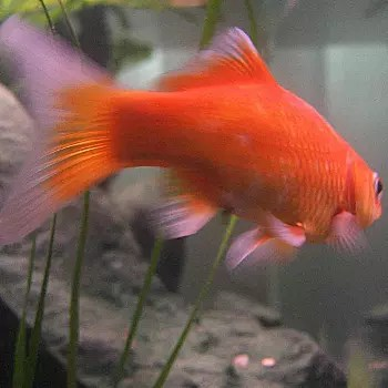 de l'espace pour nager, des endroits où se cacher... il faut occuper ce poisson