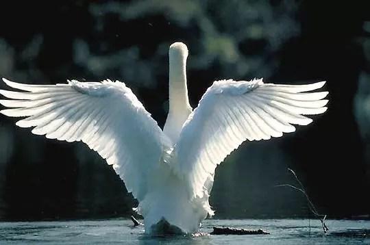 dans la mythologie grecque, le cygne est l'oiseau dédié à apollon, dieu de la