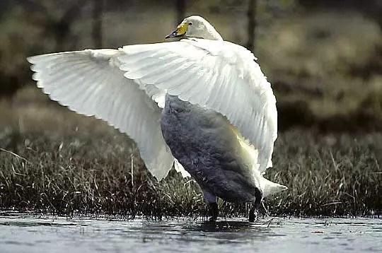le cygne sauvage est un oiseau très lourddont l'envol est assez difficile