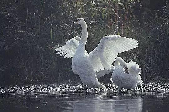 pendant la saison des amours, le mâle peut devenir très agressif envers les