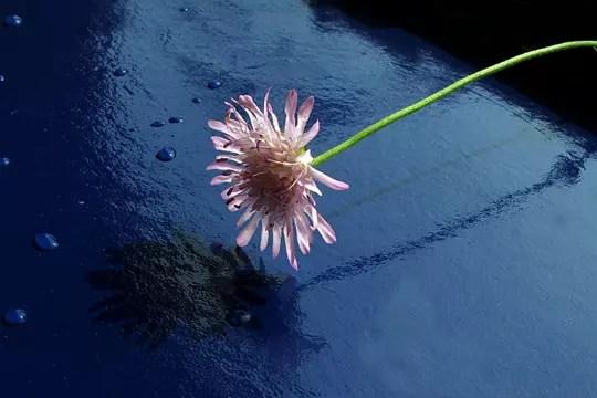 reflet d'une fleur