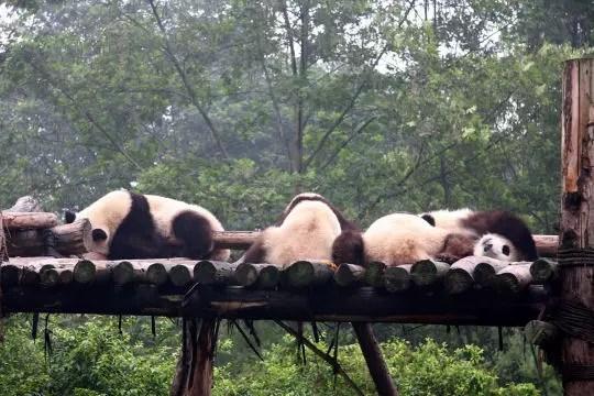 sanctuaires du grand panda