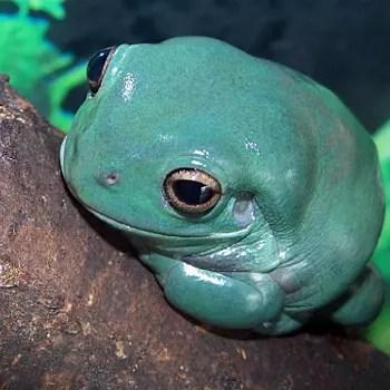 la rainette de white est une grenouille commune dont l'air débonnaire séduit
