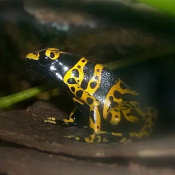 avec ses motifs, la rainette jaguar fait penser à une salamandre.