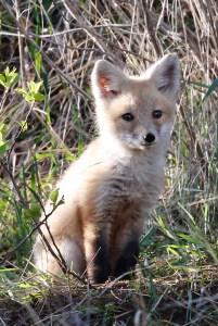Fox Cub, baby fox