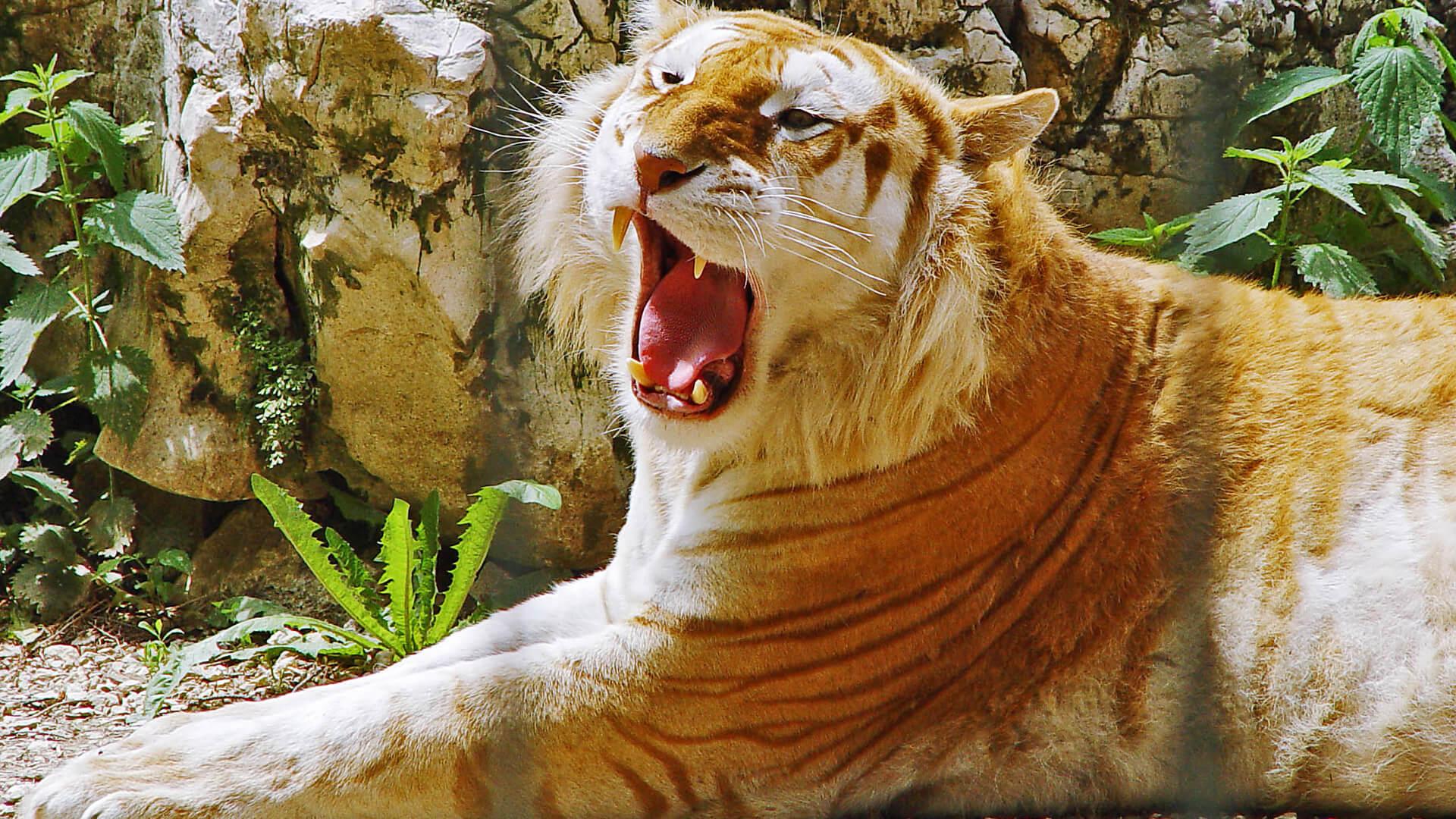 hight resolution of ii golden tigers