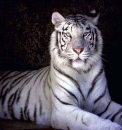 i white tigers [ 1024 x 768 Pixel ]