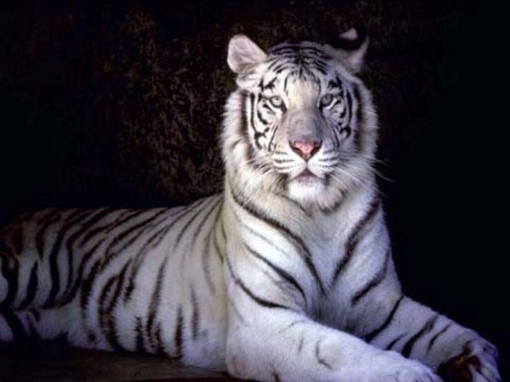 medium resolution of i white tigers