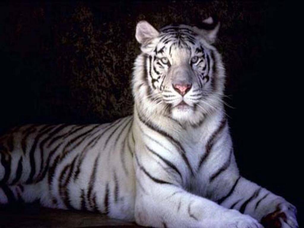 hight resolution of i white tigers