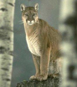 cougarrock