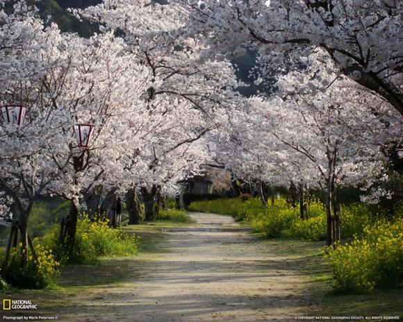 Cherry Trees and Walkway