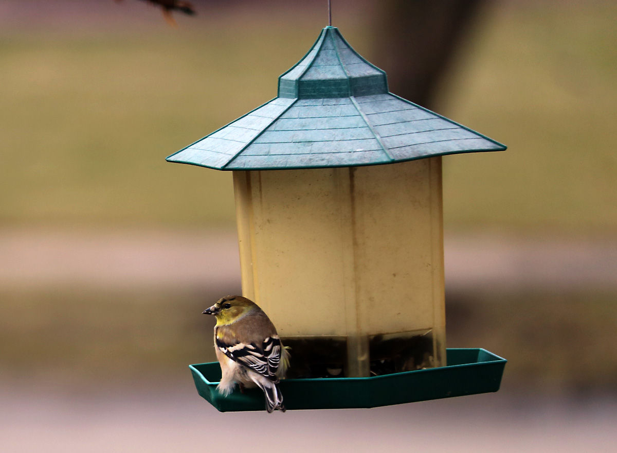 small brown and yellow bird with black and white wings sits on green bird feeder, balancing in 30 mile per hour winds.