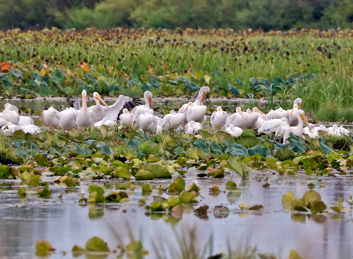 group of American White Pelicans clustered together on the marshy island surrounded by lily pads.