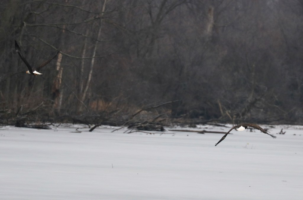two eagles flying over the frozen ice on an overcast gray day.