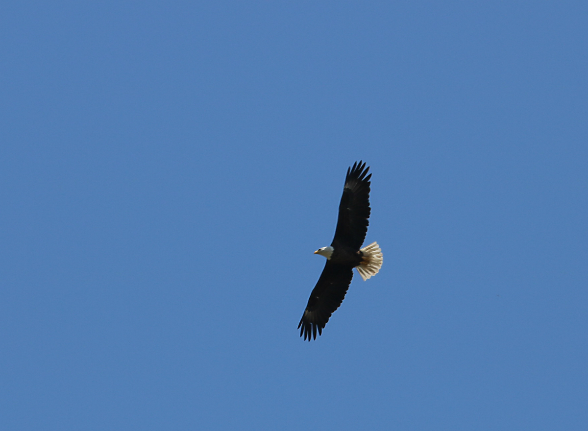 Bald eagle with wings outstretched flying in the blue sky
