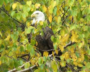 Close up view of Bald Eagle looking to the left, perched in birch tree