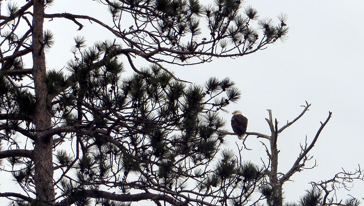 Bald Eagle sitting on pine tree branch at Seney National Wildlife Refuge