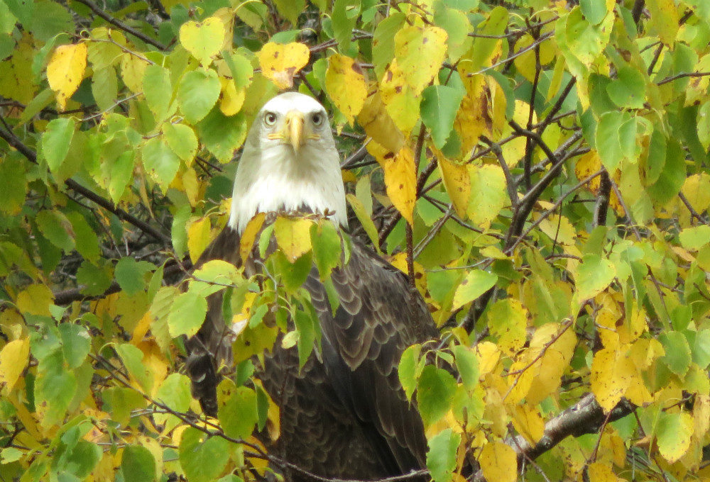 Bald Eagle perched on branch of birch tree