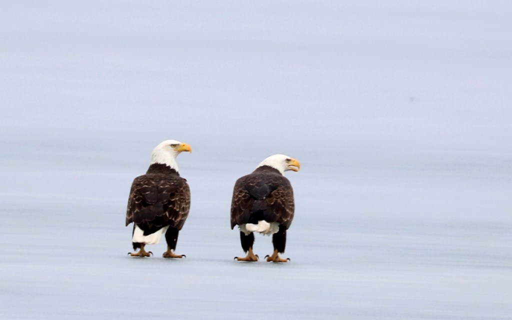 two large raptors on the frozen ice, stare together in one direction.