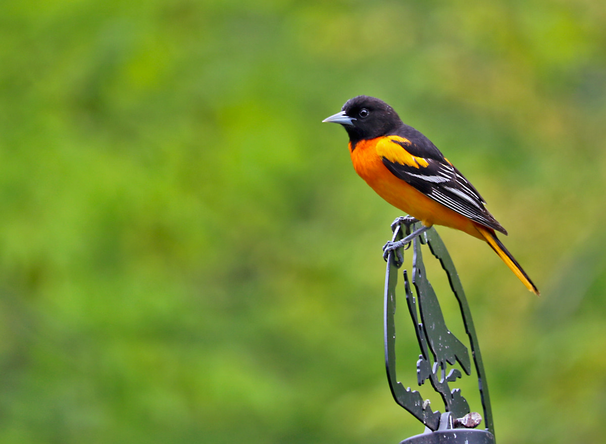 bright orange and black bird with white bar on black wings, perched on top of bird feeder.