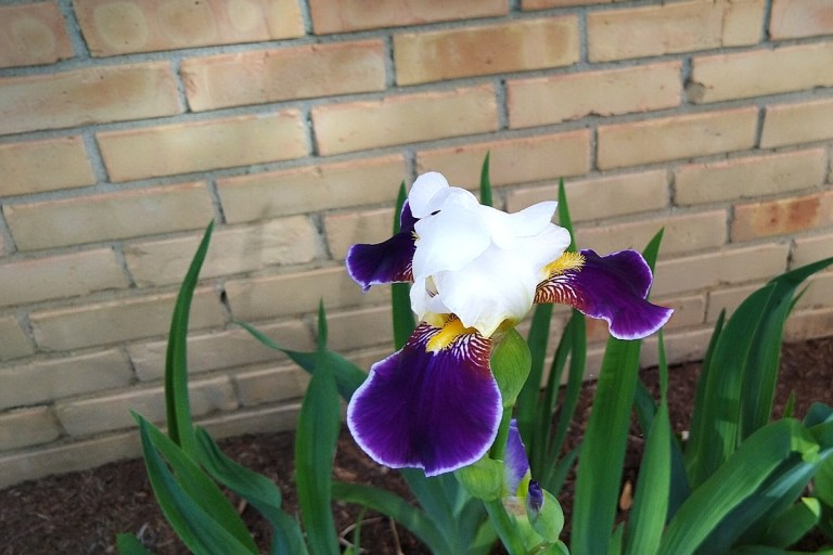 elegant purple and white bearded iris in bloom.