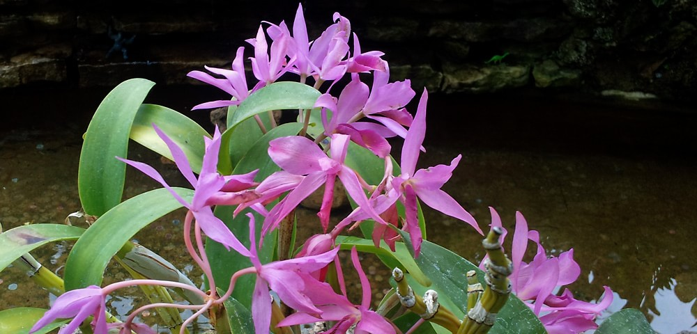 Fuchsia-colored orchid in bloom
