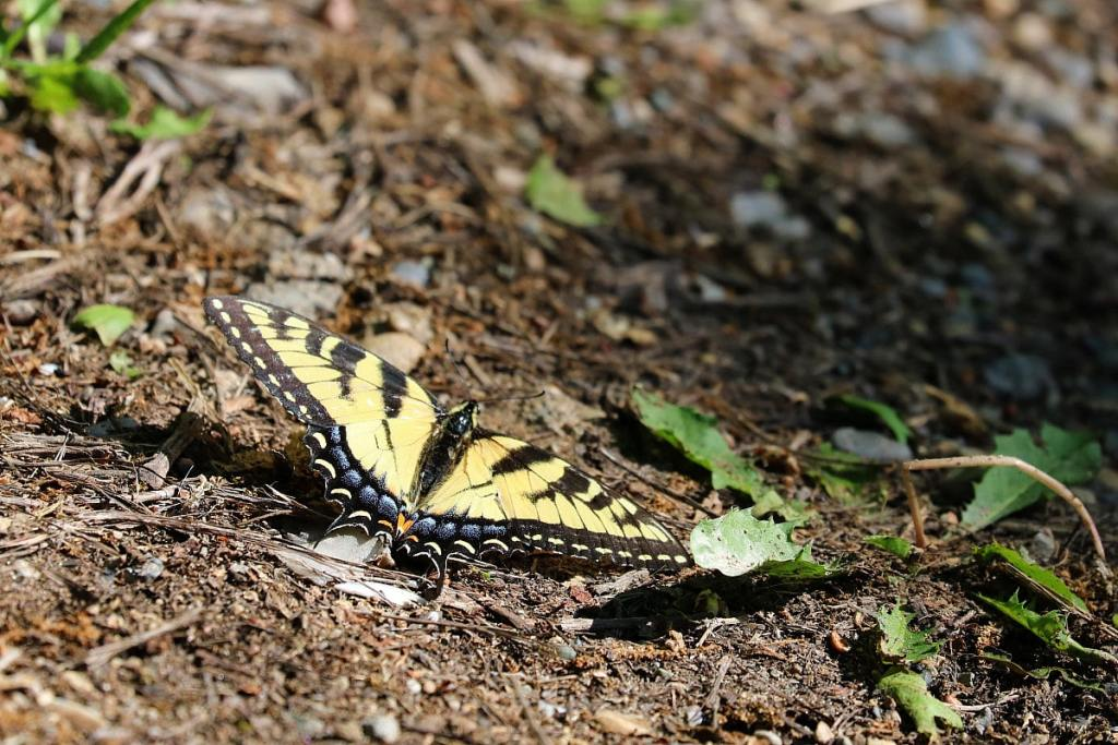 Yellow butterfly with black stripes, hindwings with blue on the border.