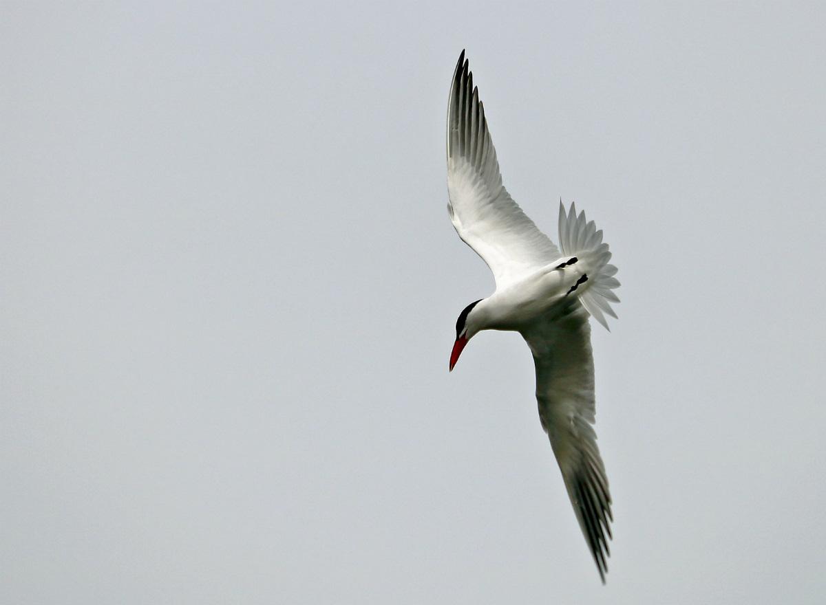 Caspian Tern soaring through the blue sky