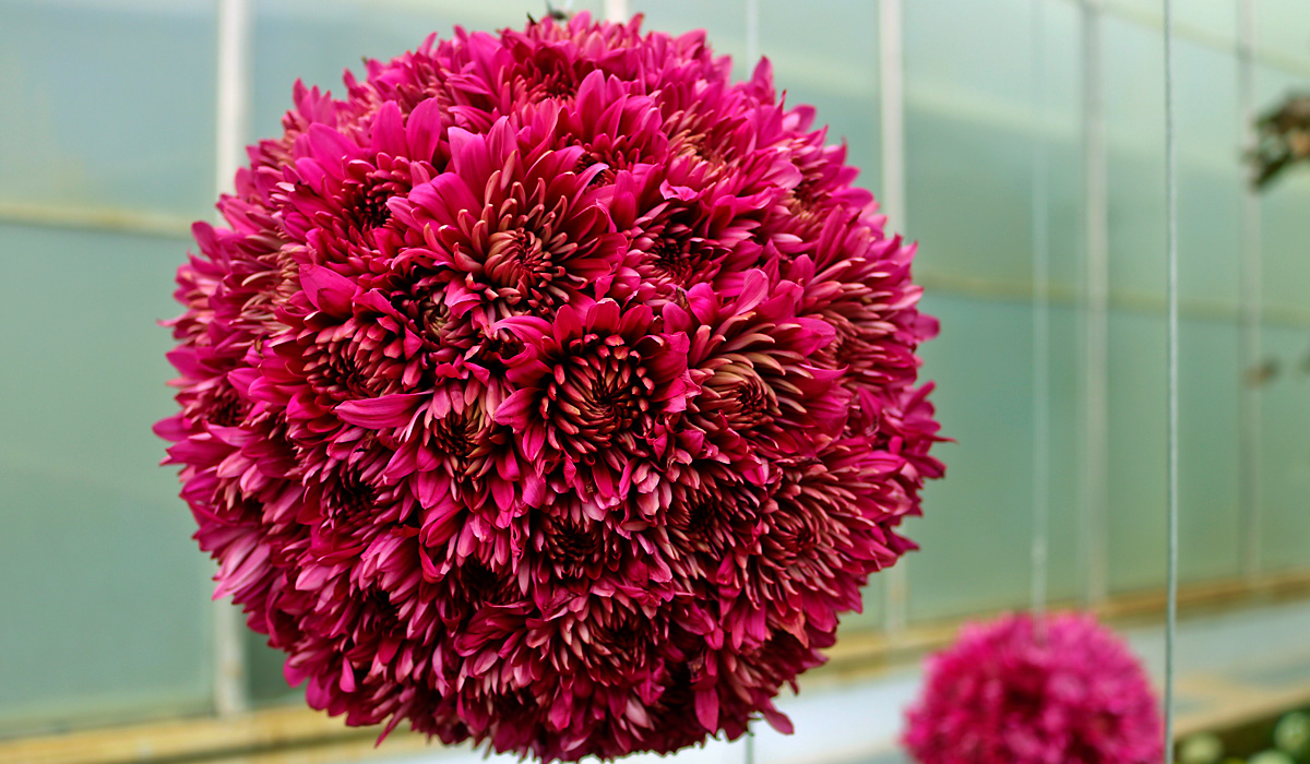 Ball of red chrysanthemums, hanging from celing