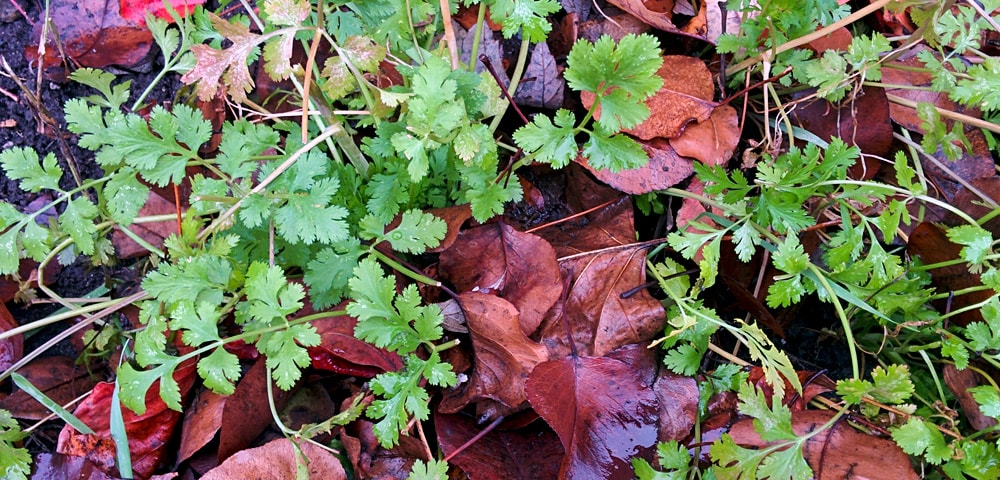 cilantro surrounded by colorful fall leaves