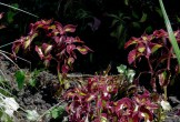 Red and white coleus in Coventry Garden