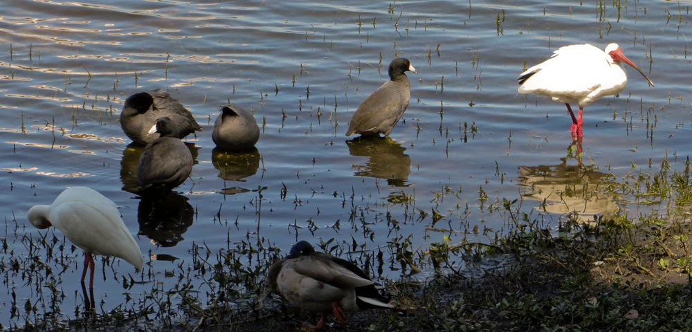 White Ibis, American Coot, and Mallard on the shoreline of Cranes Roost Lake