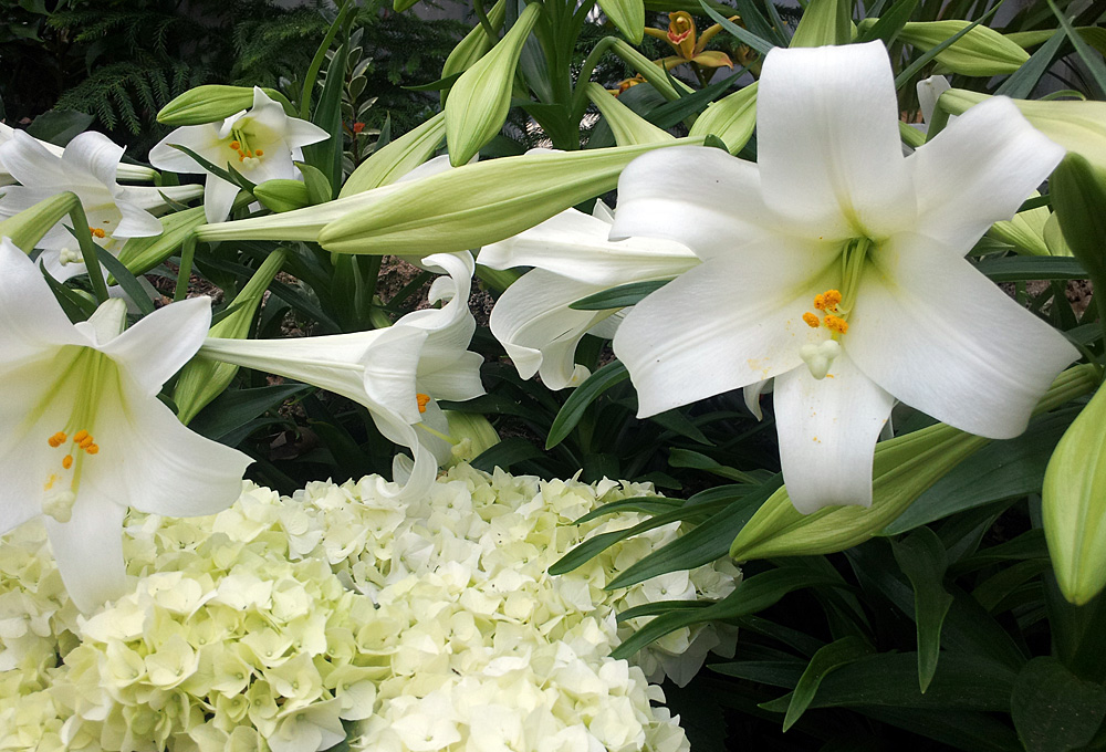 White Easter lilies and white hydrangea
