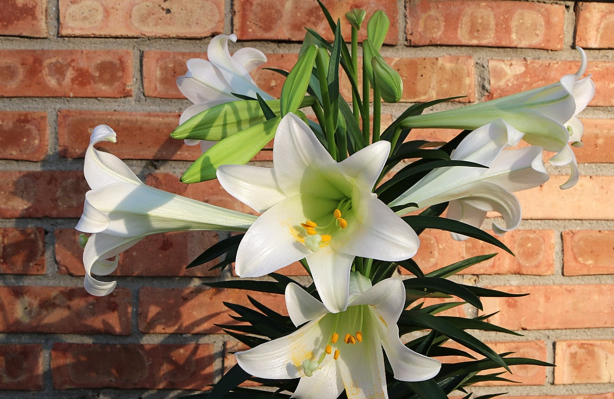 white flowers of the Easter lily in full bloom, against the red brick wall background.