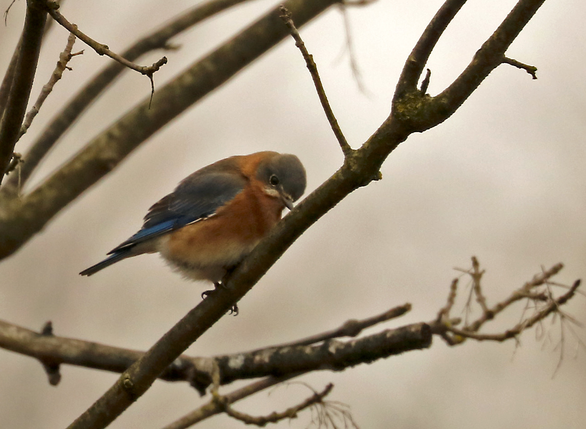 small blue bird with copper chest perches on a bare tree branch.