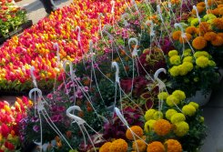 Flowers and hanging baskets at Eastern Market