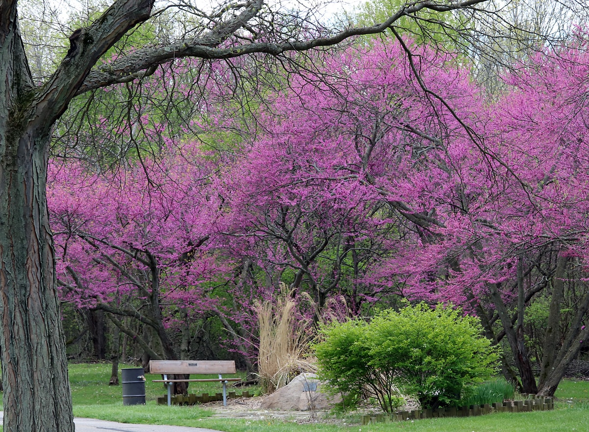 a park bench along the pave trail is surrounded by the blooming purple flowers of the Eastern Redbud and nearby green shrub