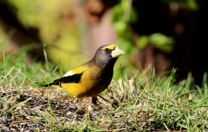 Brilliant yellow, black, and white bird with large whitish bill pauses in the green grass while feeding.