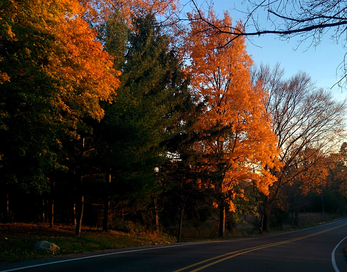 Brilliant golden leaves of maple and hickory trees with evergreens line a backroad