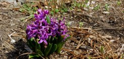 purple hyacinths in bloom on Easter Sunday
