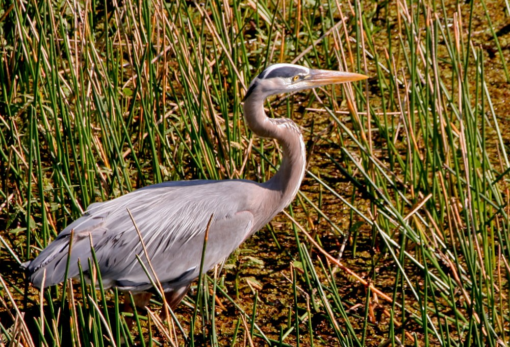 Great Blue Heron stalking fish