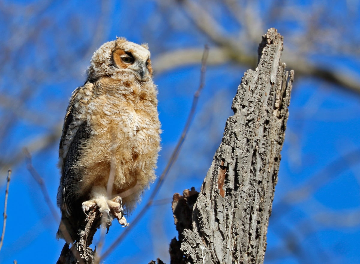 young brown and gray owl perched on tree branch, blue sky in the background.