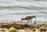 Greater Yellowlegs searching for food along the canals at Ottawa National Wildlife Refuge