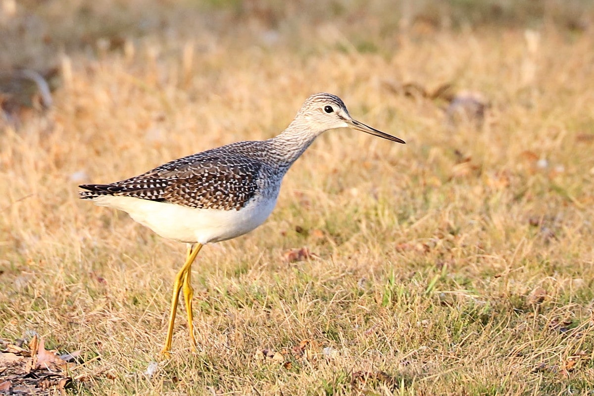 Medium-sized white-breasted grayish-brown speckled shorebird with bright yellow legs slowly walks through the grass near the shoreline.
