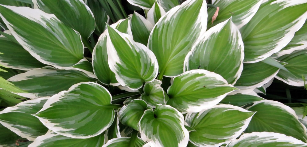Hostas, green leaves with a white border