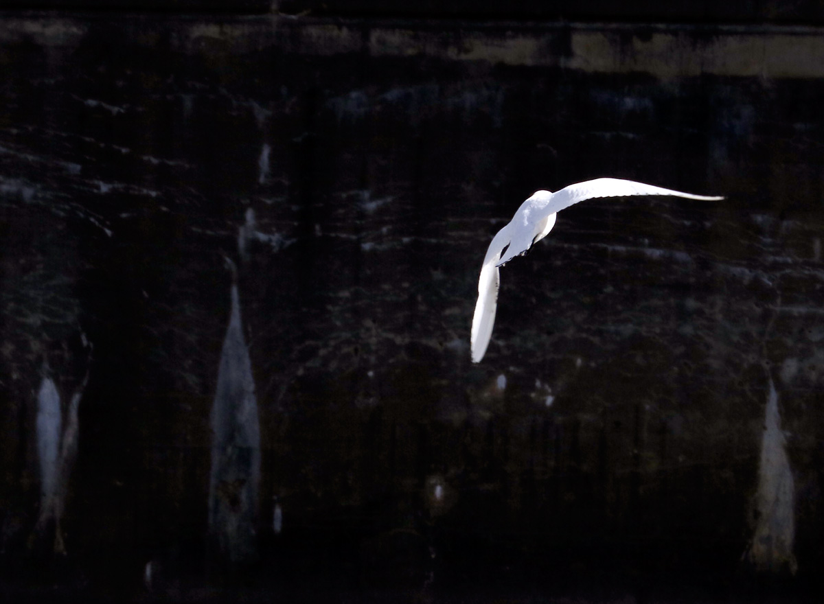 Ivory Gull flying over the Flint River, retaining wall in background